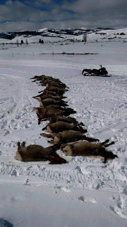 """For everyone that doesn't want management this is what happens. We had 18 elk slaughtered by wolves on our feedgrounds in one night this week. 16 were calves that were not eaten at all. Killed and left for dead. The other were two pregnant cow elk. The wolves ripped the fetuses from the elk most likely from signs while they will still alive, to later die. Again they did not eat the cows. 18 kills to eat 2 fetuses. This makes nearly 70 elk on our feedgrounds alone this winter. We must used common sense, decency and real conversations to regulate this issue."""