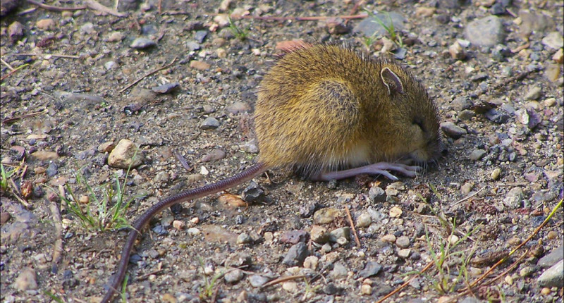 an analysis of the animal meadow jumping mouse
