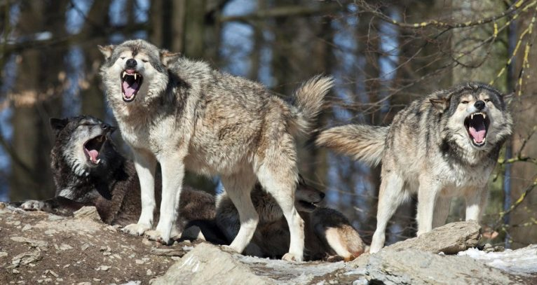 Pack of at least 7 Wolves is Menacing the Boise Foothills